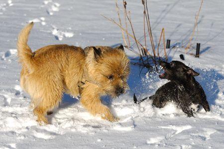 kampfhund: Hunde sind k�mpfen und im Schnee spielen. Bewegungsunsch�rfe. Die Rasse der Hunde sind ein Cairn Terrier und der kleine Hund ist eine Mischung aus ein Chihuahua und eine Miniatur Pinscher.
