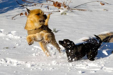 Dogs are playing and running in the snow. Motion blur. The breed of the dogs are a Cairn Terrier and the small dog is a mix of a Chihuahua and a Miniature Pinscher.  photo