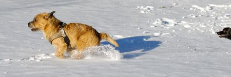Dog are playing and running in the snow. Motion blur. The breed of the dogs are a Cairn Terrier and the small dog is a mix of a Chihuahua and a Miniature Pinscher.  photo