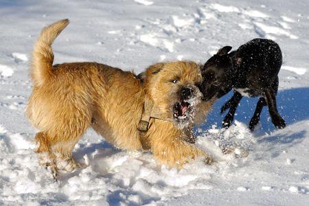 kampfhund: Hunde sind k�mpfen und spielen im Schnee. Bewegungsunsch�rfe. Die Rasse der die Hunde sind eine Cairn-Terrier und der kleine Hund ist eine Mischung aus einer Chihuahua und eine Miniatur-Pinscher.  Lizenzfreie Bilder