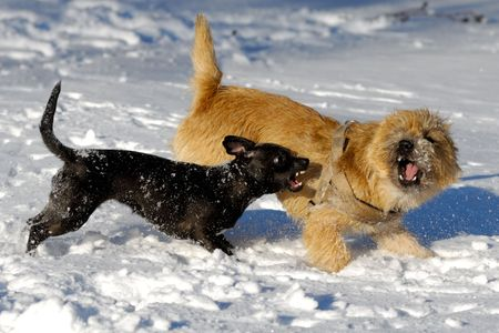 cairn: Dogs are fighting and playing in the snow. Motion blur. The breed of the dogs are a Cairn Terrier and the small dog is a mix of a Chihuahua and a Miniature Pinscher.