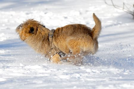 Dog is running very fast in the snow. The breed of the dog is a Cairn Terrier. Note motion blur. photo
