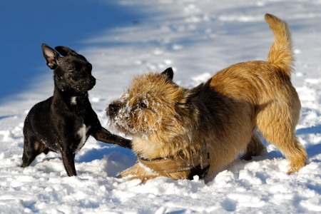 Dogs are playing in the snow. Motion blur. The breed of the dogs are a Cairn Terrier and the small dog is a mix of a Chihuahua and a Miniature Pinscher.  Stock Photo