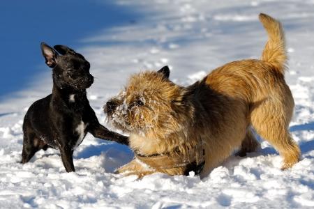 Perros están jugando en la nieve. Desenfoque de movimiento. La raza de los perros son un Cairn Terrier y el pequeño perro es una mezcla de un Chihuahua y un pinscher miniatura.