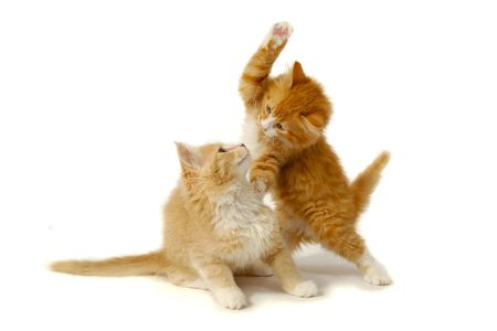 Sweet kittens are fighting and playing on a white background. Stock Photo