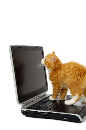 Sweet kitten is looking at the screen on a laptop. Taken on a white background. photo