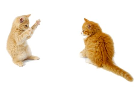 Sweet kittens are just about to fight on a white background. photo