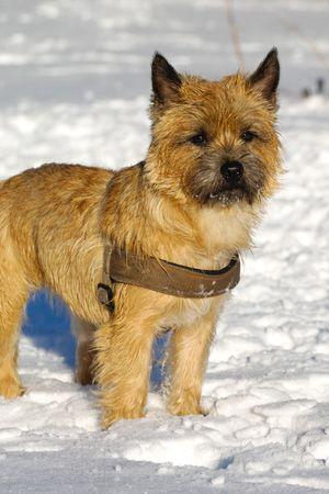 Ein Hund steht in den Schnee, die auf der Suche. Die Rasse des Hundes ist ein Cairn Terrier.