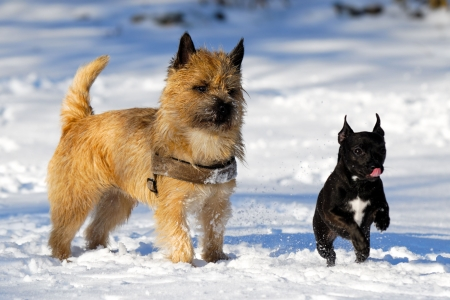 Dogs are playing and running in the snow. Motion blur. The breed of the dogs are a Cairn Terrier and the small dog is a mix of a Chihuahua and a Miniature Pinscher.