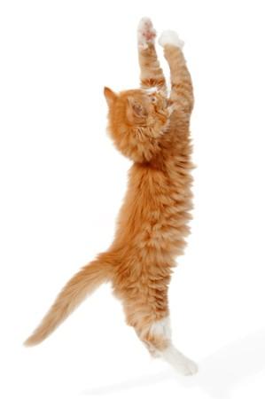 Un kitting es saltar arriba. Tomado sobre un fondo blanco.