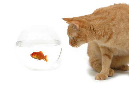 Cat is lokking at a fish in a bowl. Note the fish is still alive and in well being.