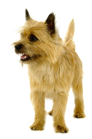 Happy dog is standing on a white background. The breed of the dog is a Cairn Terrier.