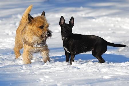 Hunde den Schnee. Die Rasse der Hunde sind ein Cairn Terrier und der kleine Hund ist eine Mischung aus ein Chihuahua und eine Miniatur Pinscher.