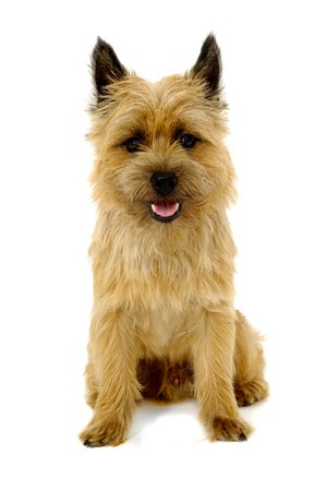 cairn: Sweet happy dog is sitting on a white background. The breed of the dog is a Cairn Terrier.