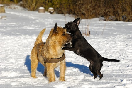 pinscher: Dogs are playing in the the snow. The breed of the dogs are a Cairn Terrier and the small dog is a mix of a Chihuahua and a Miniature Pinscher.