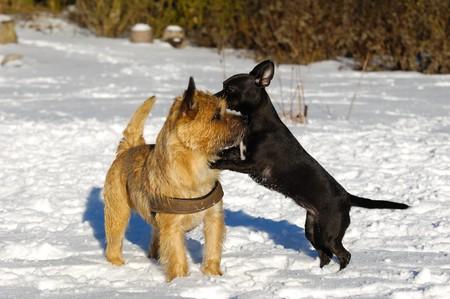 Perros están desempeñando en la la nieve. La raza de los perros son un Cairn Terrier y el pequeño perro es una mezcla de un Chihuahua y un pinscher miniatura.  Foto de archivo