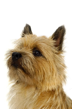 Face of sweet dog, taken on a white background. The breed of the dog is a Cairn Terrier. photo