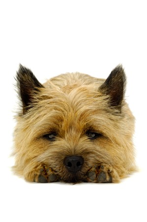 Sweet puppy dog is resting on a white background. The breed of the dog is a Cairn Terrier. photo