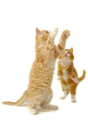 Dos gatitos están jugando sobre un fondo blanco.  Foto de archivo
