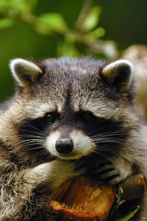 Un mapache triste dulce está sentada en un árbol y buscando.