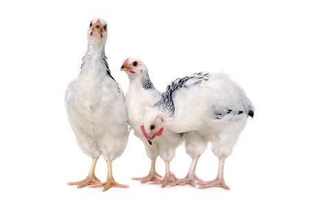 Pollos es permanente y la búsqueda. Aislado en un fondo blanco.