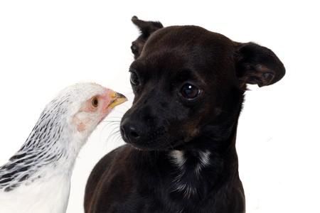 Un perro de cachorro y un pollo está mirando de unos a otros. Real el disparo, no manipulación. El perro es una mezcla de un chihuahua y un pinscher miniatura.  Foto de archivo