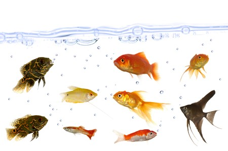 Many fish are swimming in an aquarium. You can see the water surface with air bubbles. Taken on a clean white background.