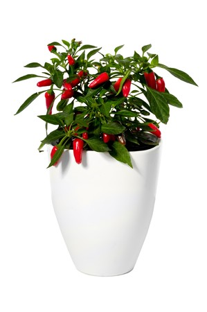 red chilli pepper plant: Chilli is growing in a pot. Isolated on a white background. Stock Photo