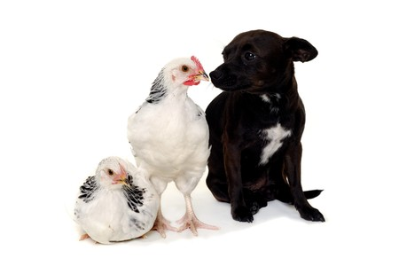 A puppy dog and a chickens is looking at each other. Real shot, not manipulation. The dog is a mix of a chihuahua and a miniature pinscher. photo
