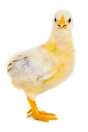 Dulce bebé pollo está de pie sobre un fondo blanco limpio.