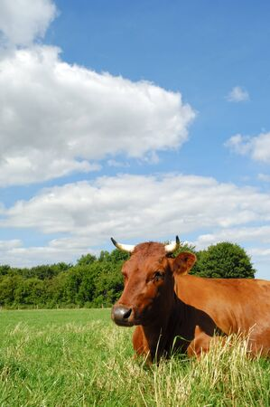 Cow is resting on green grass. The sky is blue with white clouds. photo