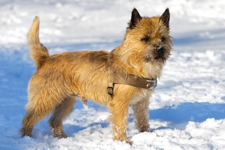 A dog is standing in the snow looking. The breed of the dog is a Cairn Terrier.