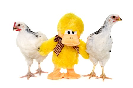 Chickens and a toy duck is standing together. Isolated on a white background. photo