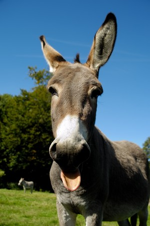 A donkey shows tongue. It is standing on green grass. photo