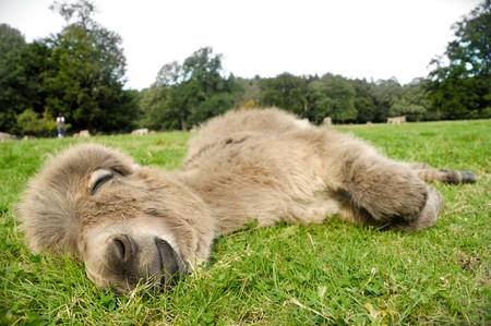 A sweet donkey foal sleeping on green grass Stock Photo - 8127409