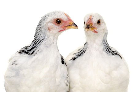 Chickens is standing and looking. Isolated on a white background. Standard-Bild