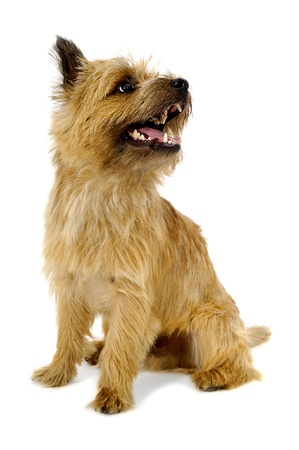 Sweet dog is sitting on a white background. The breed of the dog is a Cairn Terrier.