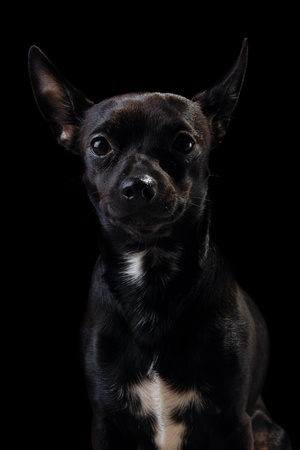 pincher: Sweet puppy dog on a black background. Mix of a miniature pincher and a chihuahua.