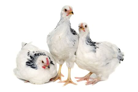 Chickens is standing and looking. Isolated on a white background. Stock Photo
