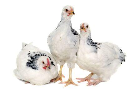 Pollos es permanente y mirando. Aislado en un fondo blanco.