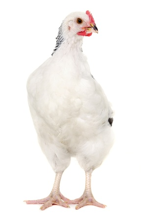 Hen is standing and looking on a white background. Stock Photo