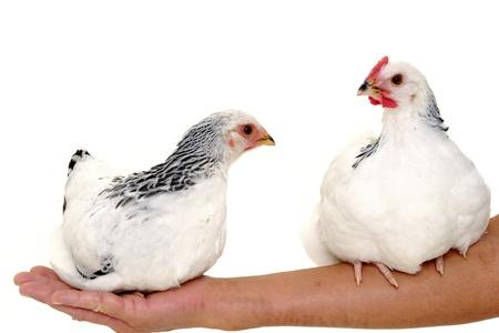 Dos pollos está sentado sobre un brazo de una mujer.