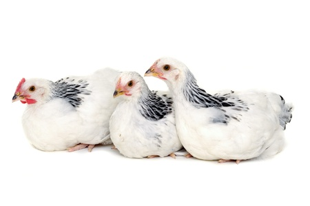 Chickens is resting on a white background. Stock Photo - 9108215