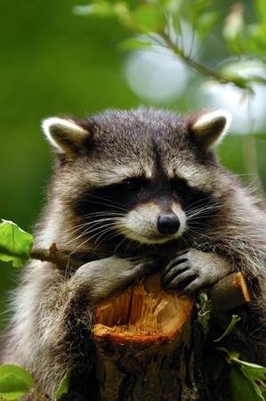 Un mapache triste dulce está sentado en un árbol y buscando. Foto de archivo