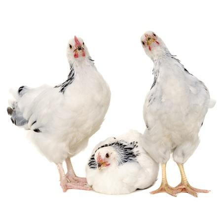 Pollos es permanente y buscando. Aislado en un fondo blanco. Foto de archivo