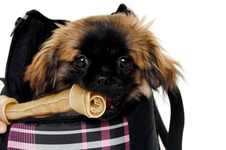 Sweet puppy dog in bag is eating a bone, isolated on a white background. photo