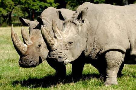 Two rhino is standing and looking on green grass