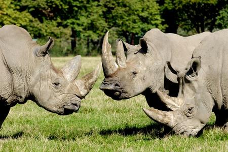 nashorn: Gruppe von Rhino stehen und auf der Suche auf grüne Gras