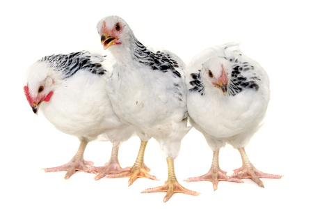 avian: Chickens is standing and looking. Isolated on a white background. Stock Photo