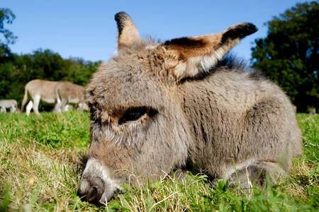 A sweet donkey foal is resting on green grass photo